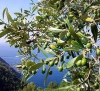 Olive Oil and More: Albenga, Sanremo, and Their Valleys